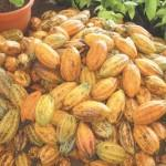 Ghana to produce 850,000 tonnes of cocoa in 2019/20 season: industry regulator