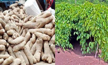 ...Yam tubers and yam plantation