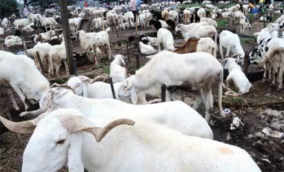 SALLAH: Rams at Zango Market, Tudun Wada, Kaduna, yesterday. NAN PHOTO.
