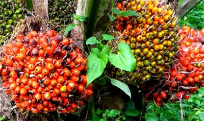 NGO, CBN inaugurate 10,000 hectares oil-palm plantation in Kogi