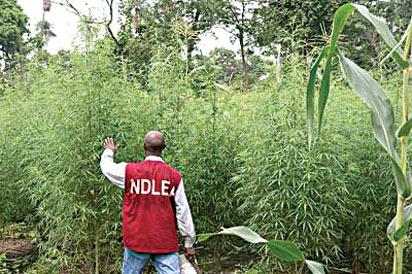 14 suspects arrested, 5,000 hectares of Indian hemp plantation destroyed in Ondo