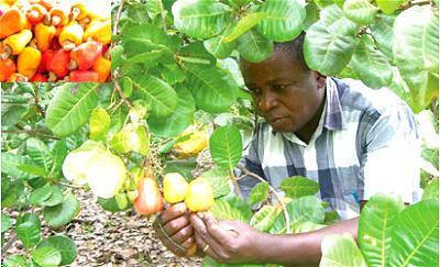 Cashew: Association wants governor to enhance farming