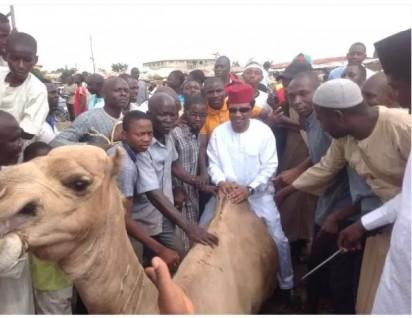 Sen Shehu Sani on the back of one of the camels distributed to his senatorial zone