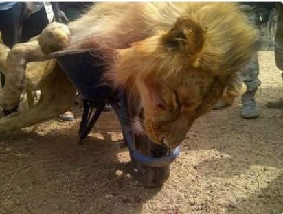 The Jos-lion