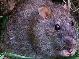 Rats cause Lassa fever