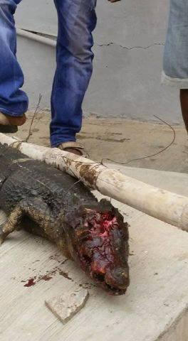 Alligator killed in Lagos