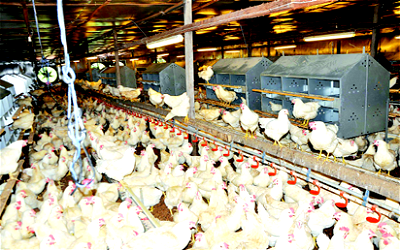 Come to our rescue, our farms are crumbling, Poultry farmers begs FG