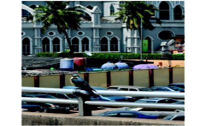 Alien Blue Swift birds spotted in Lagos raises curiosity