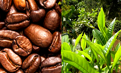 Uganda sees biggest increase in coffee exports in decades