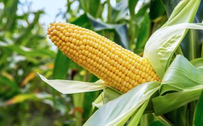 Association to fg ban importation of maize vanguard news maize voltagebd Image collections