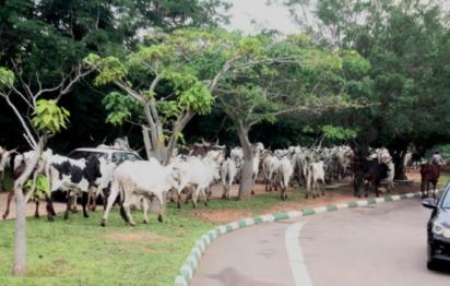Cow toilets, grazing
