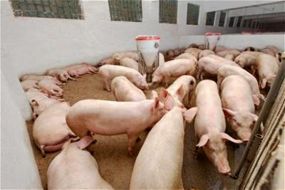 pigs, human