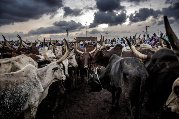 RUGA cattle CBN