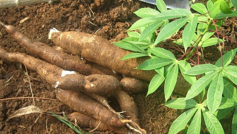 Ethanol, Cassava