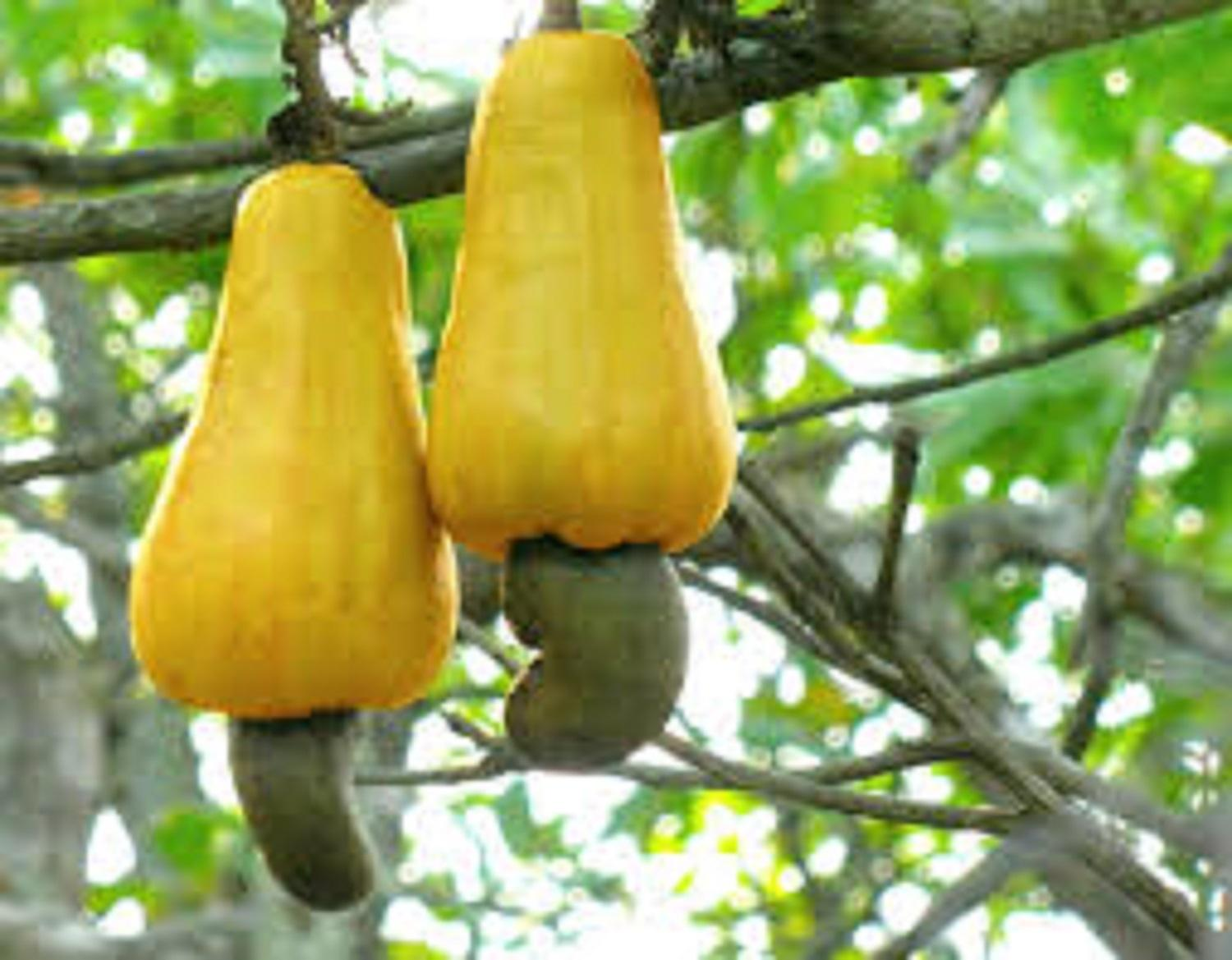 CASHEW: Conference to unlock N50b annual investment opportunity