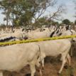 Police recover 36 cows from rustlers in Zamfara