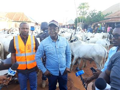 Grazing law: Ortom personally impounds 150 cows in Makurdi town