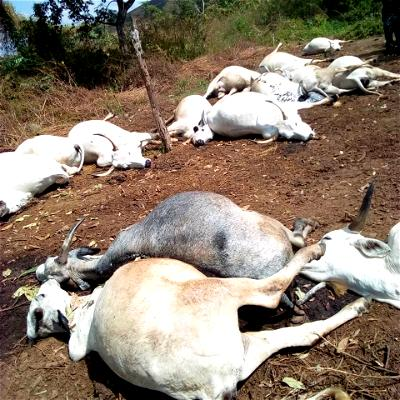 Thunder, Cows, Osun
