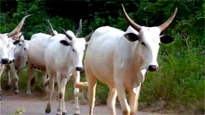 30 dead cows get mass burial in Ondo as health workers monitor community markets