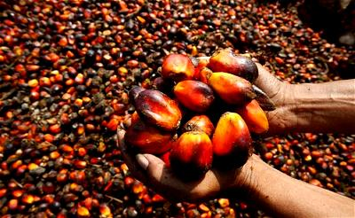 Reviving the bleak future of cocoa, palm oil production