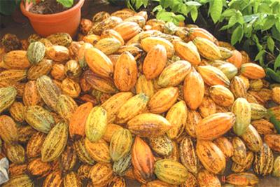 FG to boost cocoa production, export with jute bag factories