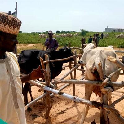 FG inseminates 100 cows for milk in Kano