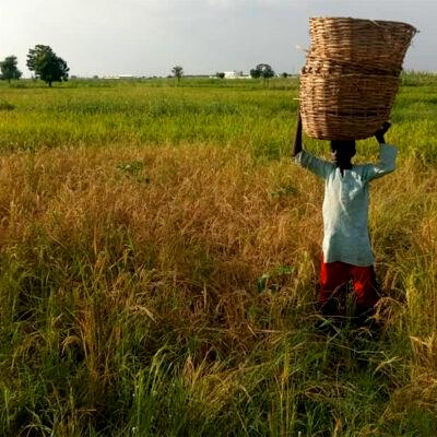 Hunger looms, as drought hits Kano rice farmers