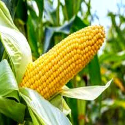 TELA maize